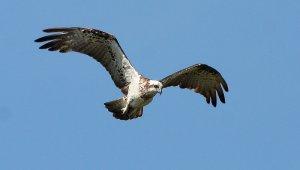 osprey1000IMG_7918[1]